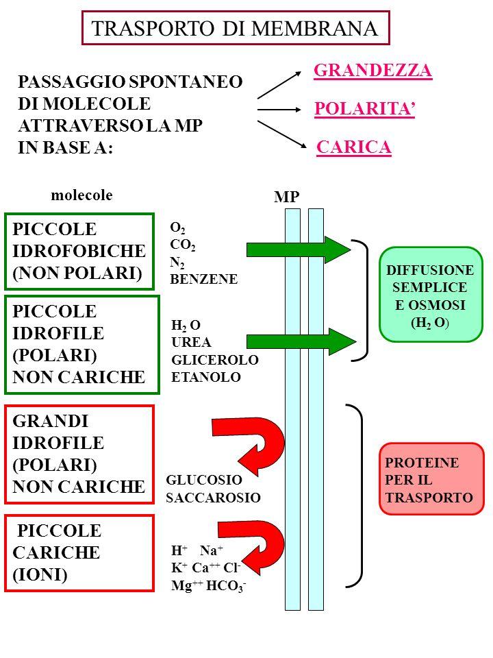 PASSAGGIO SPONTANEO DI MOLECOLE ATTRAVERSO LA MP IN BASE A: GRANDEZZA POLARITA CARICA molecole PICCOLE IDROFOBICHE (NON POLARI) PICCOLE IDROFILE (POLA