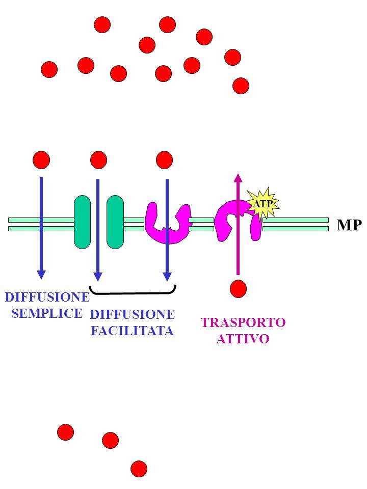 MP ATP DIFFUSIONE SEMPLICE DIFFUSIONE FACILITATA TRASPORTO ATTIVO