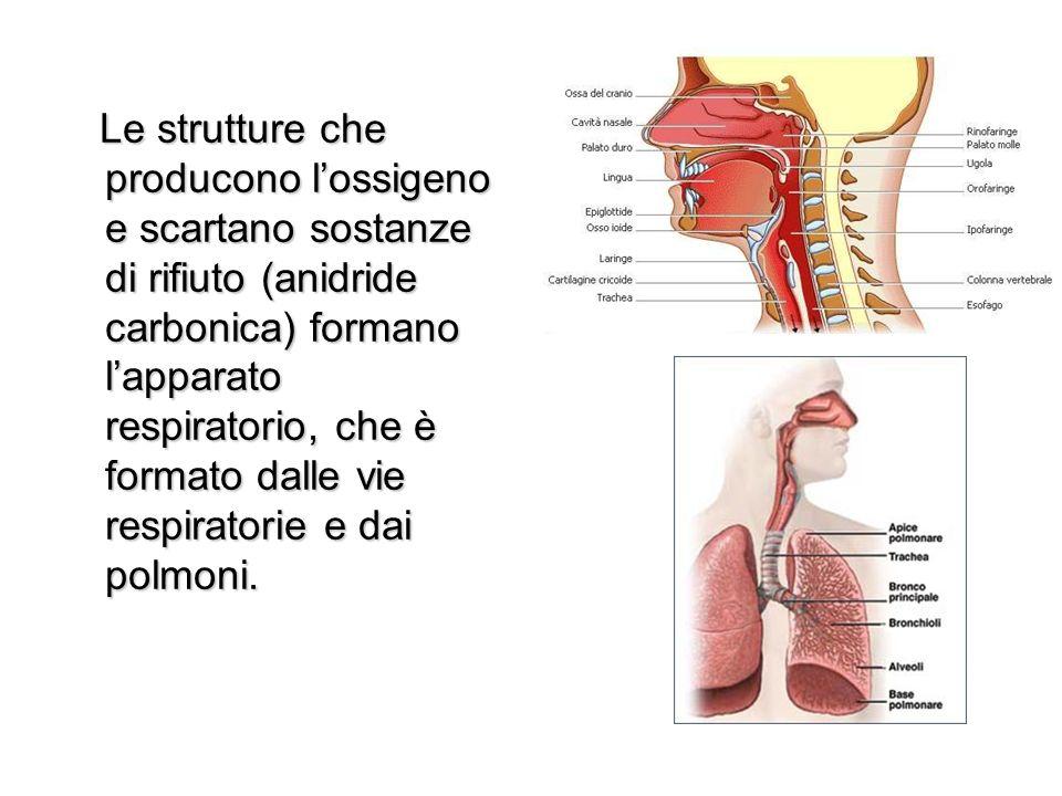 Le cavità nasali, insieme alla bocca, sono le vie respiratorie esterne che sboccano nella faringe.