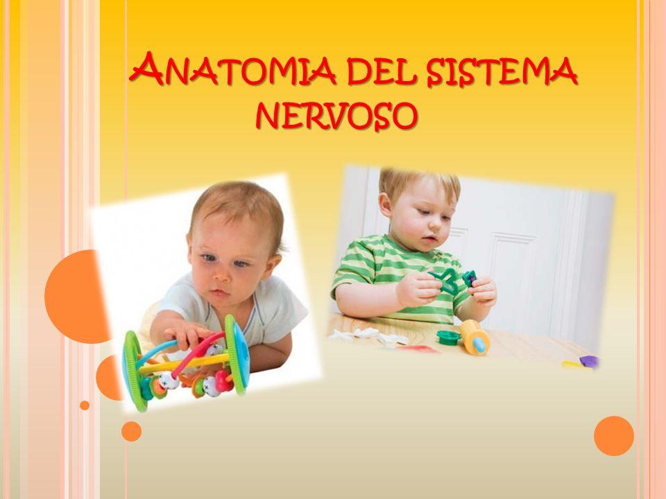 IL SISTEMA NERVOSO SI DIVIDE IN : SISTEMA NERVOSO CENTRALE: Formato da una cellula particolare, allinterno del tessuto nervoso, il neurone : assone Corpo cellulare dendriti E formato da: Encefalo Midollo spinale cervello cervelletto Midollo allungato IL SISTEMA NERVOSO PERIFERICO: E diviso in: Sistema nervoso volontario Sistema nervoso vegetativo