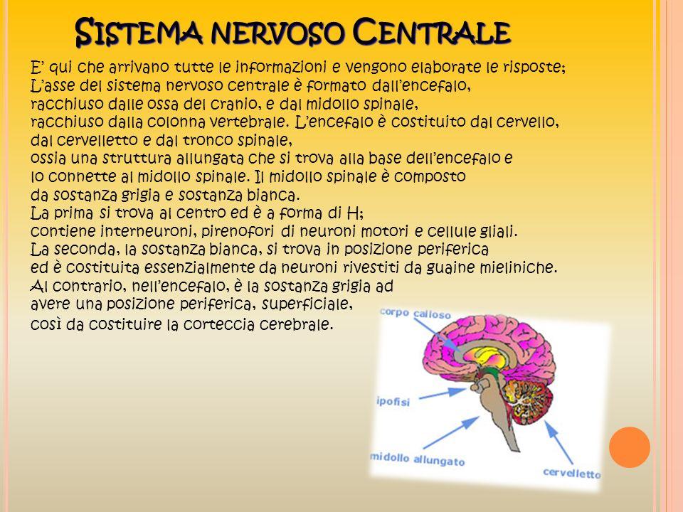 S ISTEMA NERVOSO C ENTRALE E qui che arrivano tutte le informazioni e vengono elaborate le risposte; Lasse del sistema nervoso centrale è formato dall