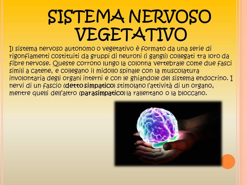 SISTEMA NERVOSO VEGETATIVO Il sistema nervoso autonomo o vegetativo è formato da una serie di rigonfiamenti costituiti da gruppi di neuroni (i gangli)