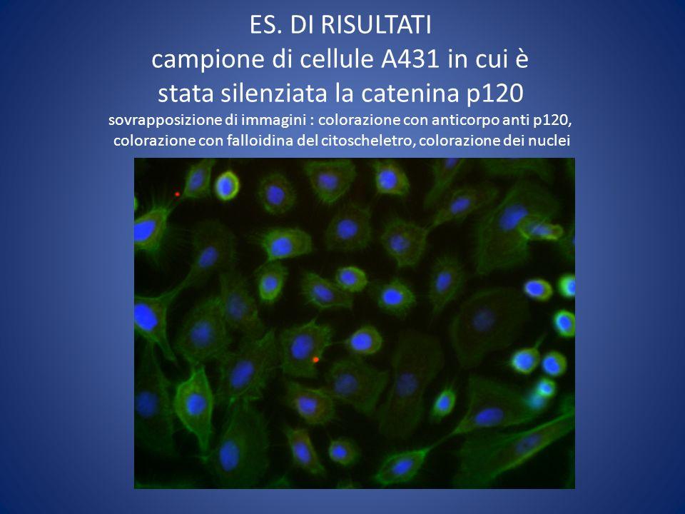 ES. DI RISULTATI campione di cellule A431 wild type sovrapposizione di immagini : colorazione con anticorpo anti p120, colorazione con falloidina del