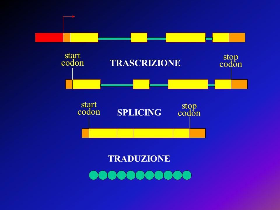 start codon stop codon start codon stop codon TRASCRIZIONE SPLICING TRADUZIONE