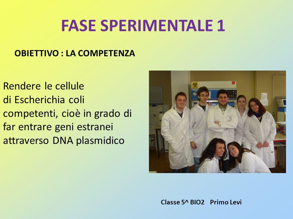FASE SPERIMENTALE 1 OBIETTIVO : LA COMPETENZA Rendere le cellule di Escherichia coli competenti, cioè in grado di far entrare geni estranei attraverso