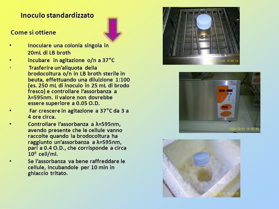 Inoculo standardizzato Come si ottiene Inoculare una colonia singola in 20mL di LB broth incubare in agitazione o/n a 37°C Trasferire unaliquota della