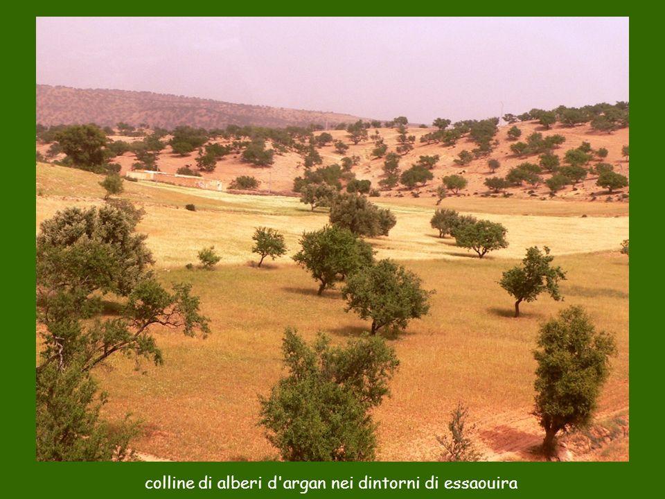 colline di alberi d'argan nei dintorni di essaouira
