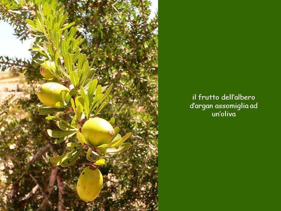 il frutto dellalbero dargan assomiglia ad unoliva