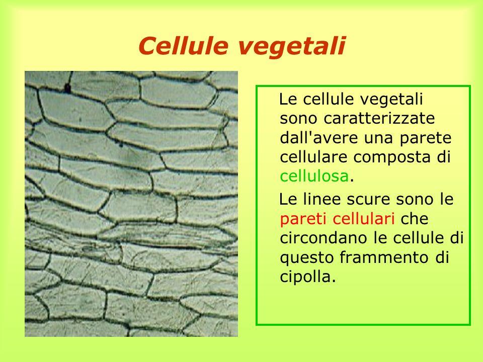 Cellule vegetali Le cellule vegetali sono caratterizzate dall'avere una parete cellulare composta di cellulosa. Le linee scure sono le pareti cellular