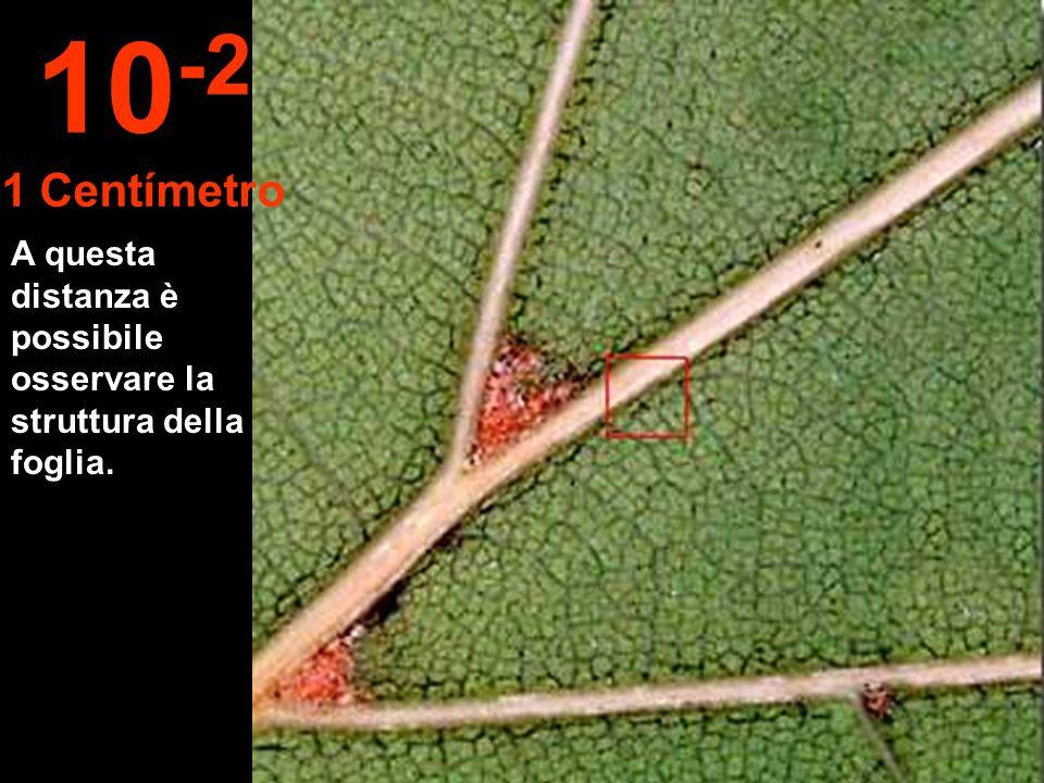 A questa distanza è possibile osservare la struttura della foglia. 10 -2 1 Centímetro