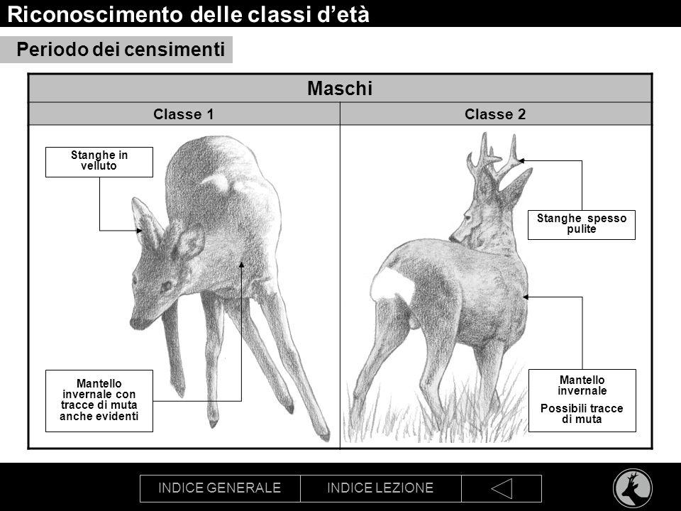INDICE GENERALEINDICE LEZIONE Riconoscimento delle classi detà Maschi Classe 1Classe 2 Periodo dei censimenti Stanghe in velluto Mantello invernale co