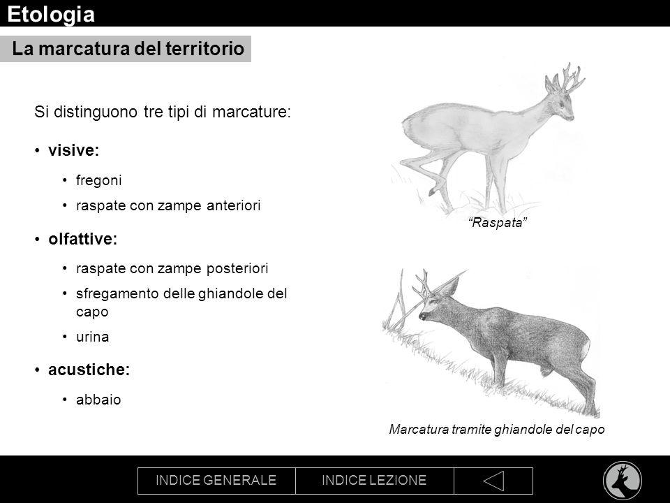 INDICE GENERALEINDICE LEZIONE Etologia La marcatura del territorio Si distinguono tre tipi di marcature: visive: fregoni raspate con zampe anteriori o