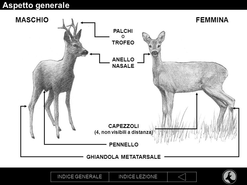 INDICE GENERALEINDICE LEZIONE Aspetto generale GHIANDOLA METATARSALE PALCHI O TROFEO CAPEZZOLI (4, non visibili a distanza) FEMMINAMASCHIO PENNELLO AN