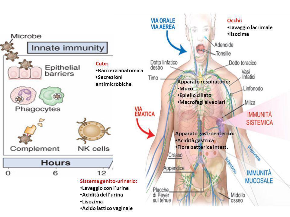 Occhi: Lavaggio lacrimale lisozima Cute: Barriera anatomica Secrezioni antimicrobiche Apparato respiratorio: Muco Epielio ciliato Macrofagi alveolari