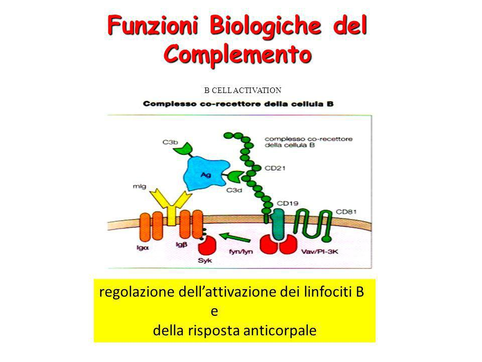 Funzioni Biologiche del Complemento B CELL ACTIVATION regolazione dellattivazione dei linfociti B e della risposta anticorpale