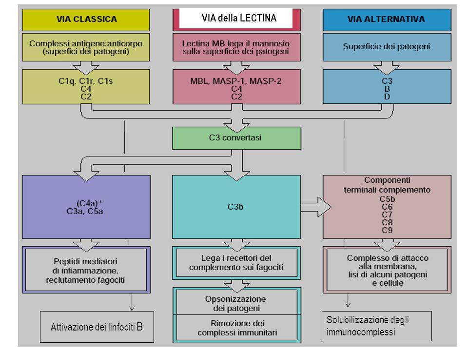 Figure 2-19 VIA della LECTINA Attivazione dei linfociti B Solubilizzazione degli immunocomplessi