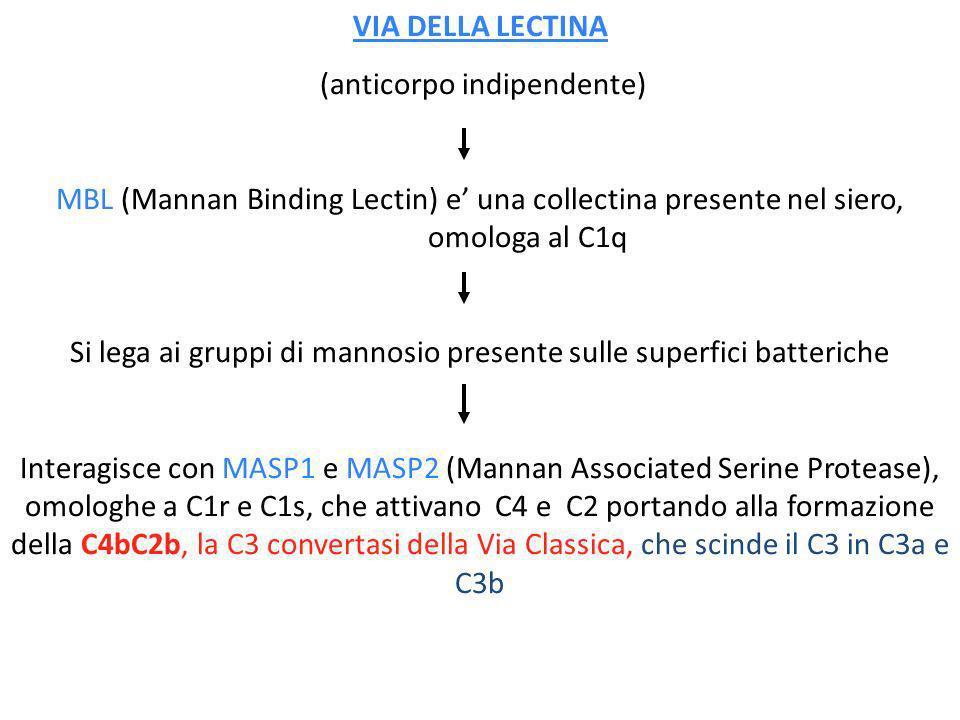 VIA DELLA LECTINA (anticorpo indipendente) MBL (Mannan Binding Lectin) e una collectina presente nel siero, omologa al C1q Si lega ai gruppi di mannos