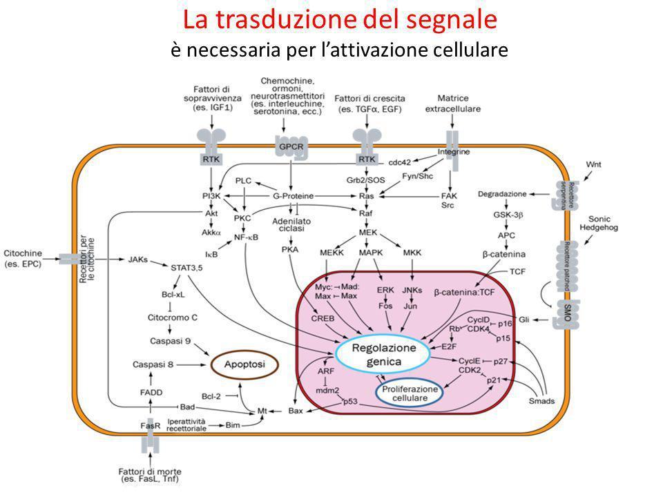 La trasduzione del segnale è necessaria per lattivazione cellulare