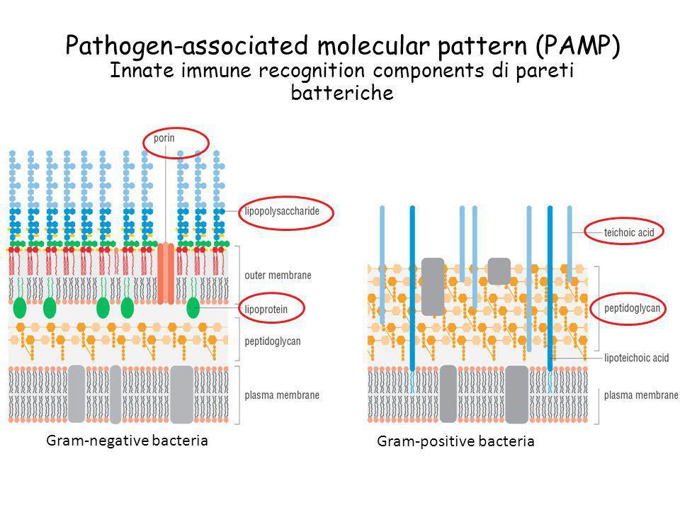 Pathogen-associated molecular pattern (PAMP) Innate immune recognition components di pareti batteriche Gram-negative bacteria Gram-positive bacteria