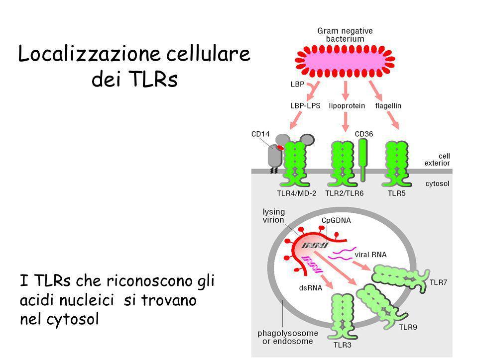 I TLRs che riconoscono gli acidi nucleici si trovano nel cytosol Localizzazione cellulare dei TLRs
