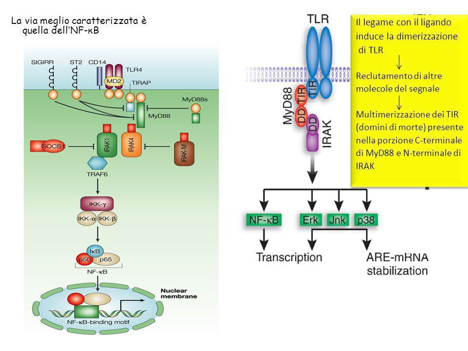 La via meglio caratterizzata è quella dellNF-κB Il legame con il ligando induce la dimerizzazione di TLR Reclutamento di altre molecole del segnale Mu