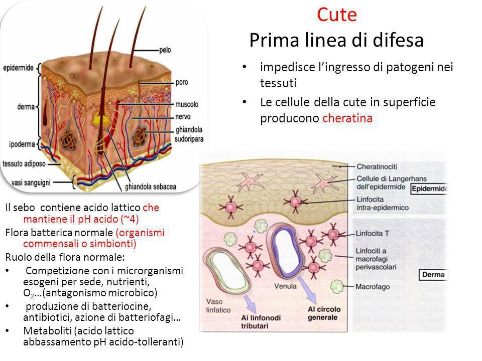 Cute Prima linea di difesa impedisce lingresso di patogeni nei tessuti Le cellule della cute in superficie producono cheratina Il sebo contiene acido