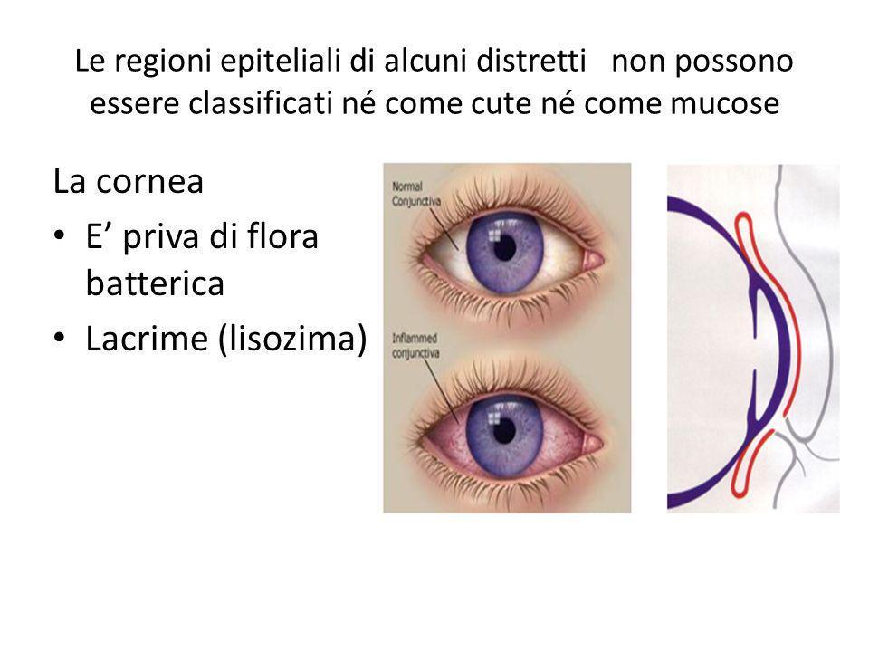 Le regioni epiteliali di alcuni distretti non possono essere classificati né come cute né come mucose La cornea E priva di flora batterica Lacrime (li