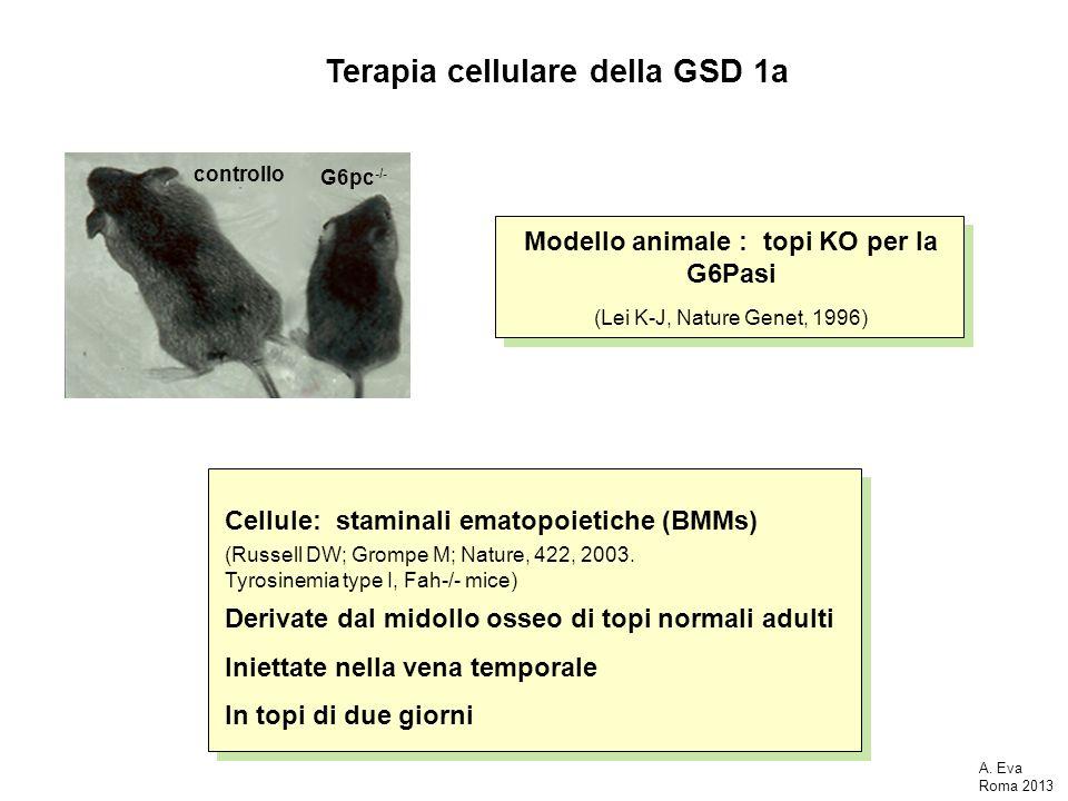 Terapia cellulare della GSD 1a G6pc -/- controllo Modello animale : topi KO per la G6Pasi (Lei K-J, Nature Genet, 1996) Cellule: staminali ematopoieti