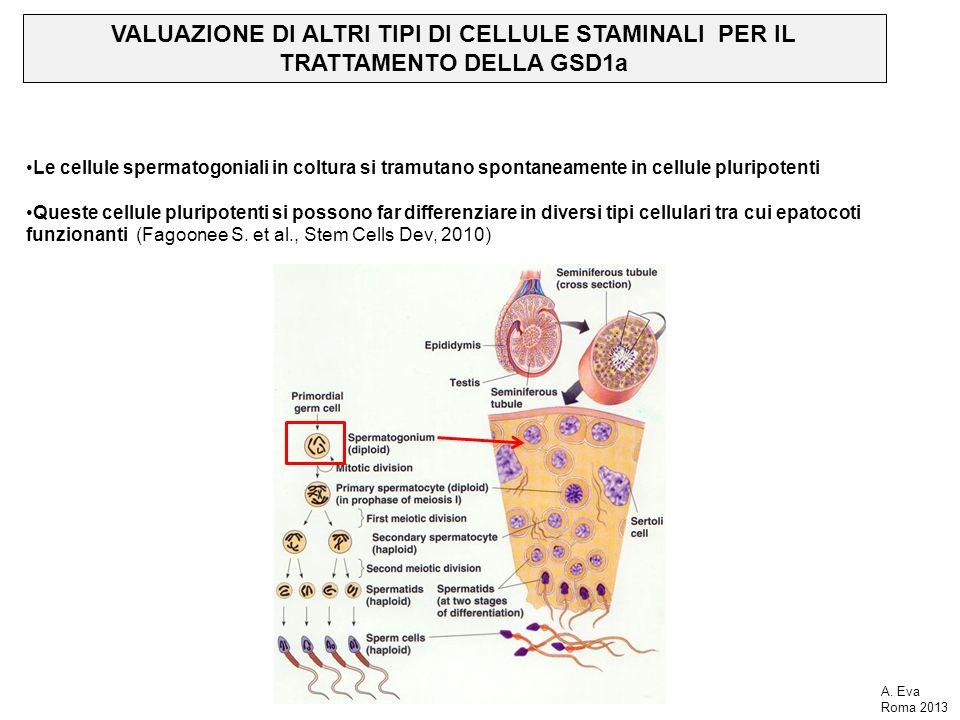VALUAZIONE DI ALTRI TIPI DI CELLULE STAMINALI PER IL TRATTAMENTO DELLA GSD1a Le cellule spermatogoniali in coltura si tramutano spontaneamente in cellule pluripotenti Queste cellule pluripotenti si possono far differenziare in diversi tipi cellulari tra cui epatocoti funzionanti (Fagoonee S.