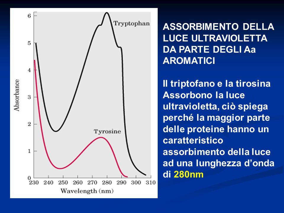 ASSORBIMENTO DELLA LUCE ULTRAVIOLETTA DA PARTE DEGLI Aa AROMATICI Il triptofano e la tirosina Assorbono la luce ultravioletta, ciò spiega perché la ma
