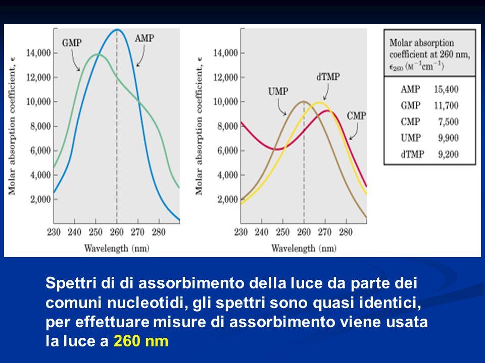 Spettri di di assorbimento della luce da parte dei comuni nucleotidi, gli spettri sono quasi identici, per effettuare misure di assorbimento viene usa