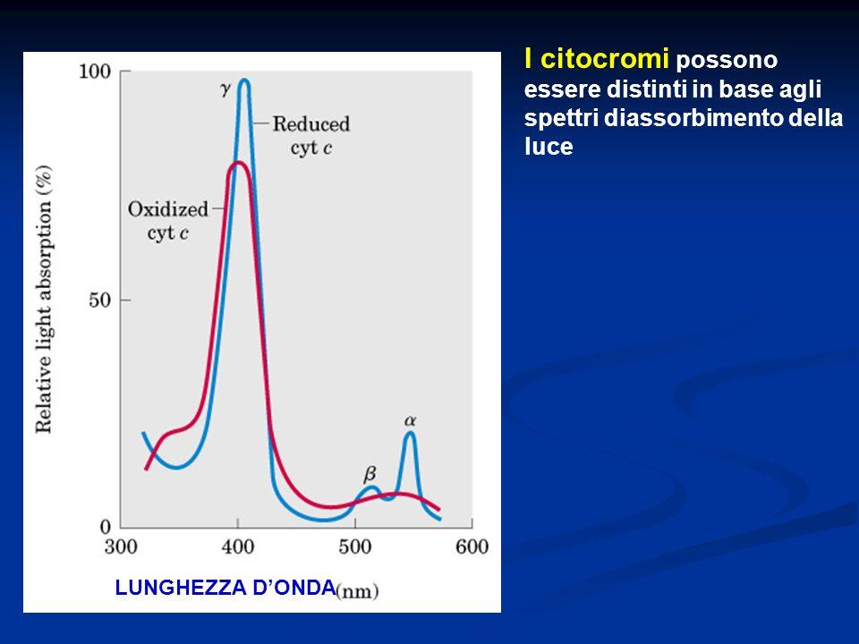 I citocromi possono essere distinti in base agli spettri diassorbimento della luce LUNGHEZZA DONDA