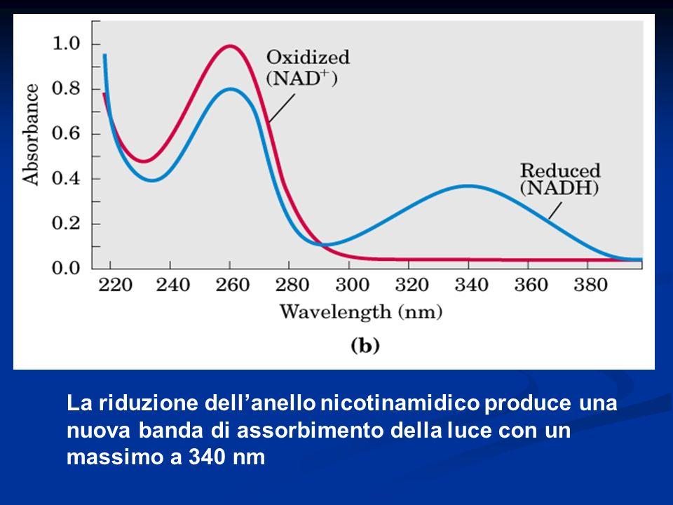 La riduzione dellanello nicotinamidico produce una nuova banda di assorbimento della luce con un massimo a 340 nm