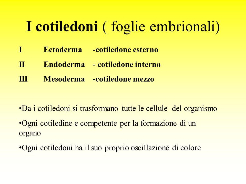 I cotiledoni ( foglie embrionali) I Ectoderma-cotiledone esterno IIEndoderma - cotiledone interno IIIMesoderma-cotiledone mezzo Da i cotiledoni si trasformano tutte le cellule del organismo Ogni cotiledine e competente per la formazione di un organo Ogni cotiledoni ha il suo proprio oscillazione di colore