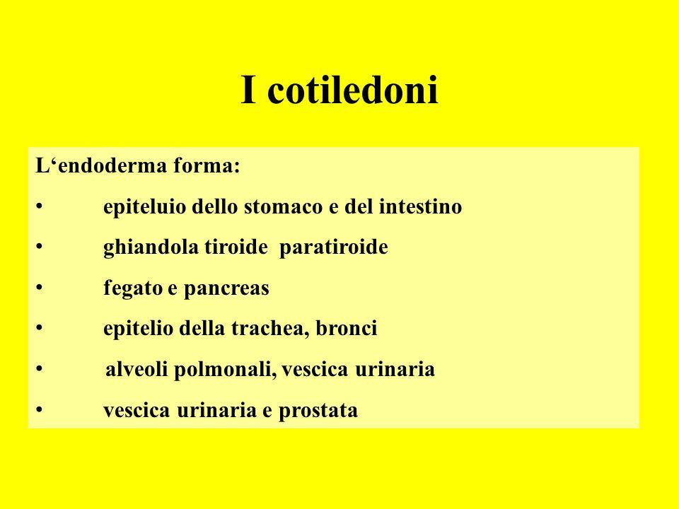 I cotiledoni Lendoderma forma: epiteluio dello stomaco e del intestino ghiandola tiroide paratiroide fegato e pancreas epitelio della trachea, bronci alveoli polmonali, vescica urinaria vescica urinaria e prostata