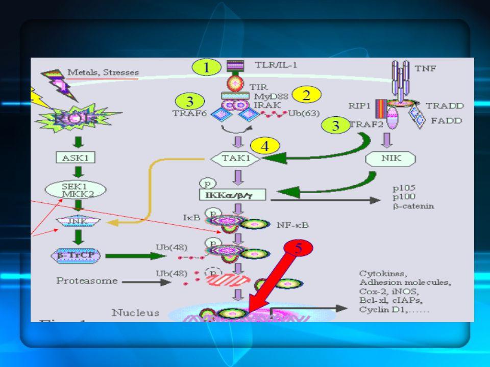 MECCANISMI RECETTORIALI : reazione immuno-infiammatoria Le Risposte immunitarie innate sono la prima linea di difesa contro i patogeni invasori xenobiotici stimoli fisici; infiammazione e risposta immunitaria innata sono due processi intimamente connessi, esse sono necessarie per dare inizio a risposte immunitarie adattative I macrofagi polimorfonucleati cellule dendritiche posseggono recettori (PRR) di membrana pattern recognition receptor che sono sensori di danno e di pericolo Le Risposte immunitarie innate sono la prima linea di difesa contro i patogeni invasori xenobiotici stimoli fisici; infiammazione e risposta immunitaria innata sono due processi intimamente connessi, esse sono necessarie per dare inizio a risposte immunitarie adattative I macrofagi polimorfonucleati cellule dendritiche posseggono recettori (PRR) di membrana pattern recognition receptor che sono sensori di danno e di pericolo I macrofagi attivati producono due citochine proinfiammatorie TNF-a (fattore di necrosi tumorale) IL- 1 Interleuchina 1 che tramite una via di segnalzione intracellulare(si legano a recettori di superficie che tramite una serie di recettori proteici intracellulare ) attivano le proteine NF-kB che accendono la trascrizione di 60 geni che partecipano alla reazione infiammatoria I macrofagi attivati producono due citochine proinfiammatorie TNF-a (fattore di necrosi tumorale) IL- 1 Interleuchina 1 che tramite una via di segnalzione intracellulare(si legano a recettori di superficie che tramite una serie di recettori proteici intracellulare ) attivano le proteine NF-kB che accendono la trascrizione di 60 geni che partecipano alla reazione infiammatoria Molecole di segnalazione lipidiche come le prostaglandine Molecole di segnalazione lipidiche come le prostaglandine Segnalazione proteiche citochine Segnalazione proteiche citochine Frammenti dl complemento Frammenti dl complemento chemiochine chemioattraenti attraggono i neutrofili monoliti, cellule denditriche raccolgono ant