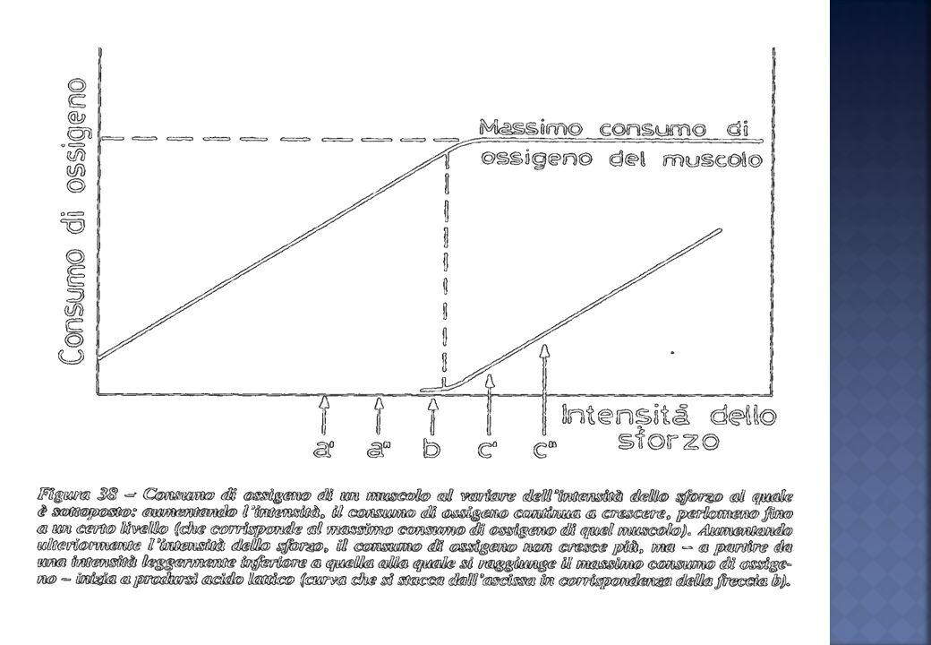 La FC aumenta proporzionalmente allintensità del lavoro fino al raggiungimento della massima frequenza cardiaca