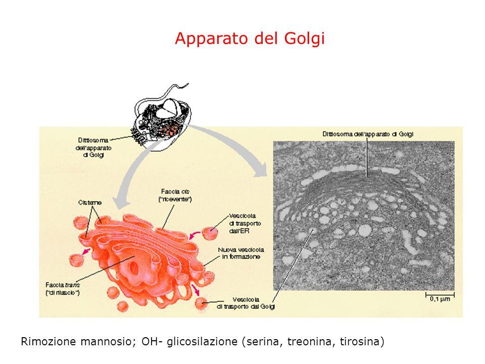 Reticolo Endoplasmatico ER liscio Sintesi lipidi e assemblaggio membrane ER rugoso: ribosomi, sintesi proteine di membrana e di secrezione N glicosila