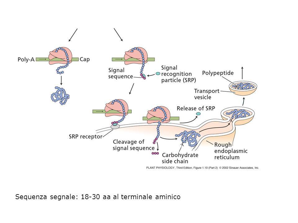 Sequenza segnale: 18-30 aa al terminale aminico
