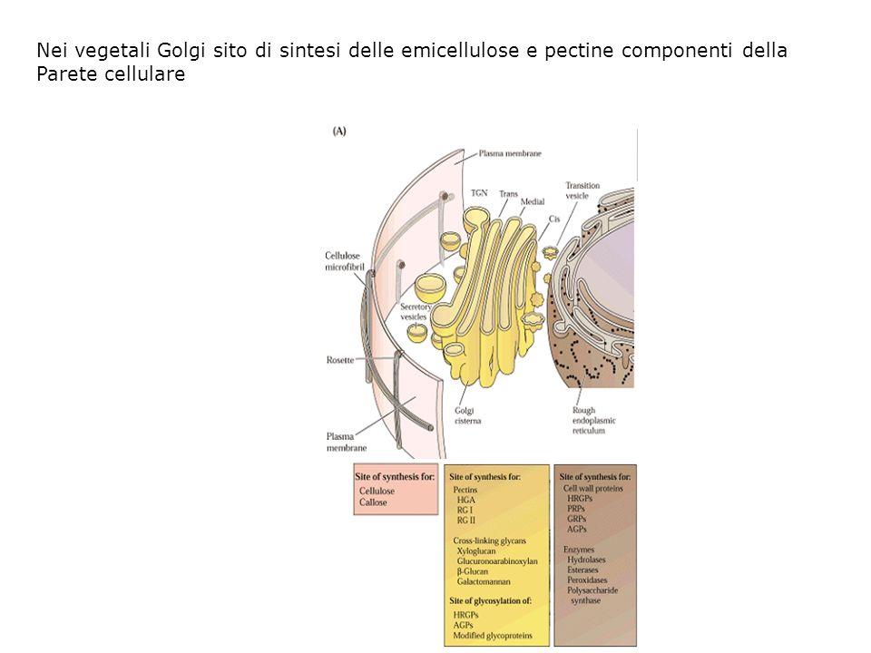 Nei vegetali Golgi sito di sintesi delle emicellulose e pectine componenti della Parete cellulare