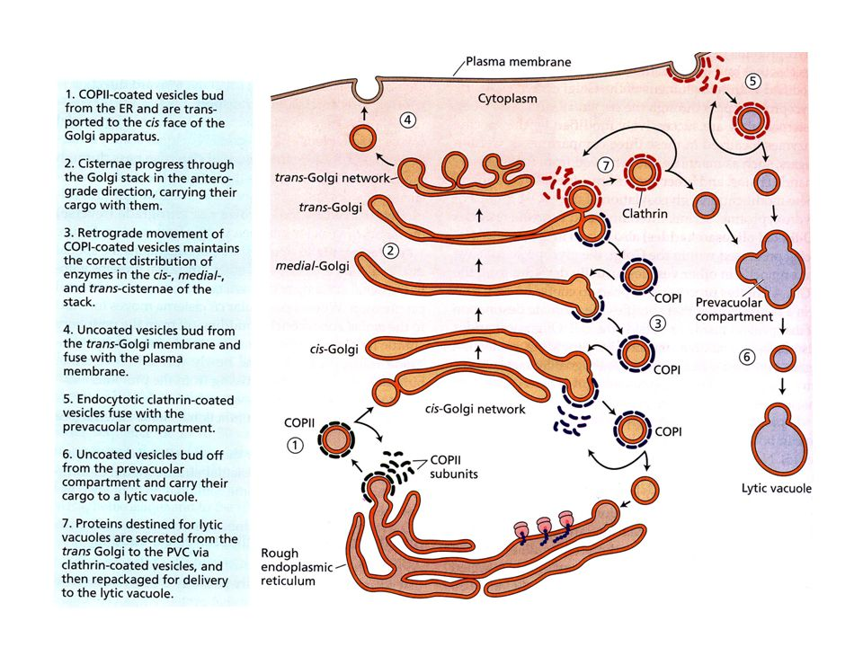 Vescicole secretrici COPI dallER al Golgi (trasporto anterogrado) COPII dal Golgi allER (trasporto retrogrado) Rivestite di Clatrina Queste ultime nel