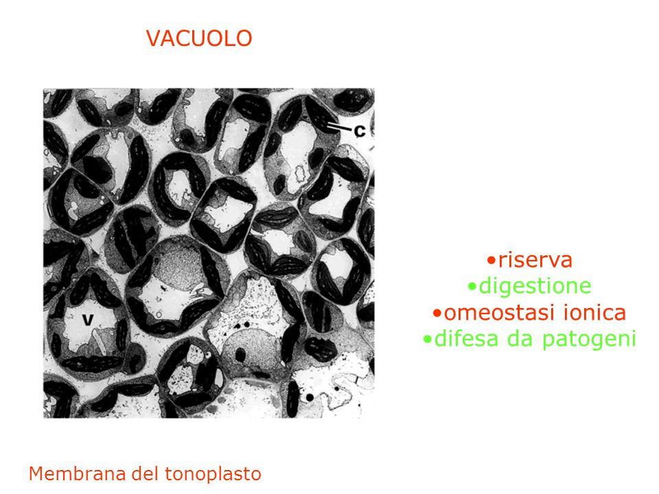 VACUOLO riserva digestione omeostasi ionica difesa da patogeni Membrana del tonoplasto