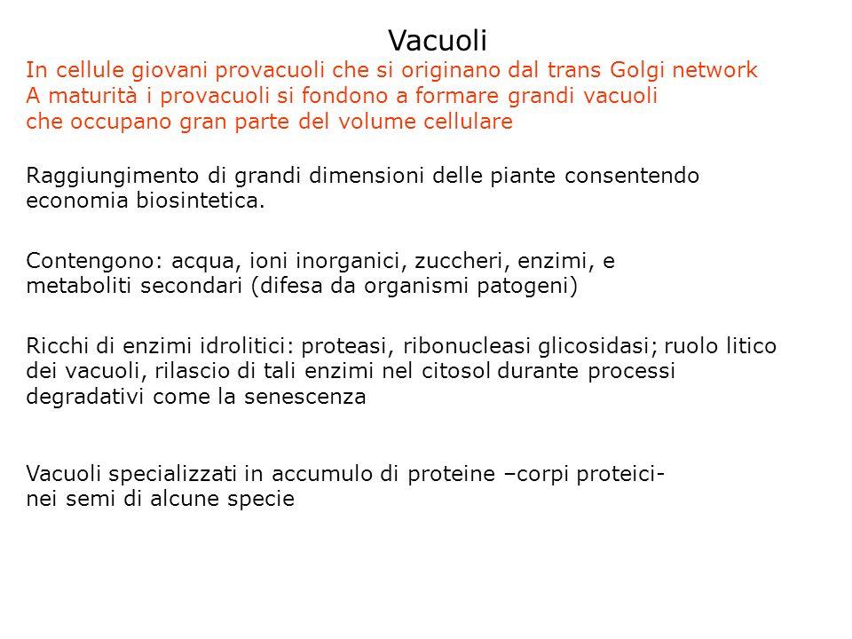 Vacuoli In cellule giovani provacuoli che si originano dal trans Golgi network A maturità i provacuoli si fondono a formare grandi vacuoli che occupano gran parte del volume cellulare Raggiungimento di grandi dimensioni delle piante consentendo economia biosintetica.