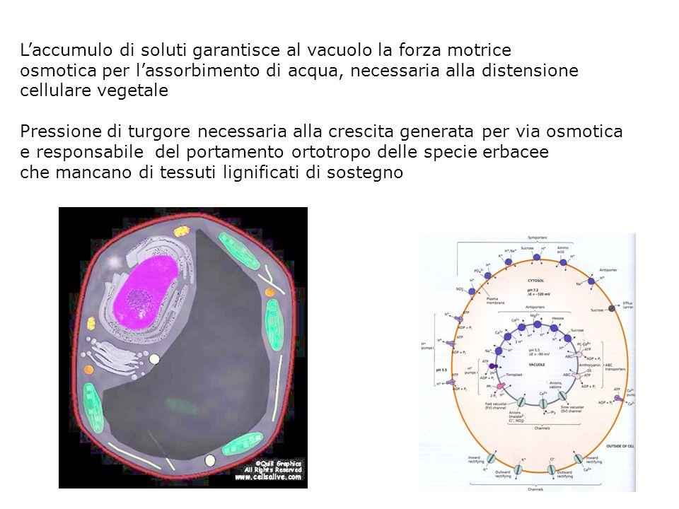 Vacuoli In cellule giovani provacuoli che si originano dal trans Golgi network A maturità i provacuoli si fondono a formare grandi vacuoli che occupan