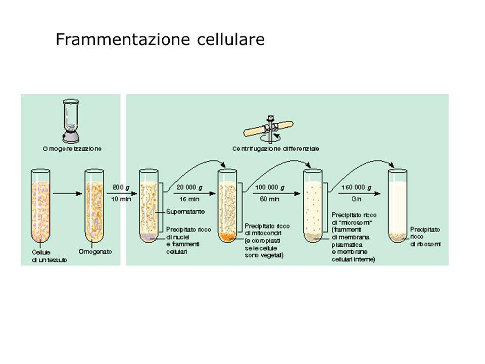 Frammentazione cellulare
