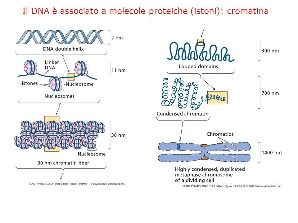 Il DNA è associato a molecole proteiche (istoni): cromatina
