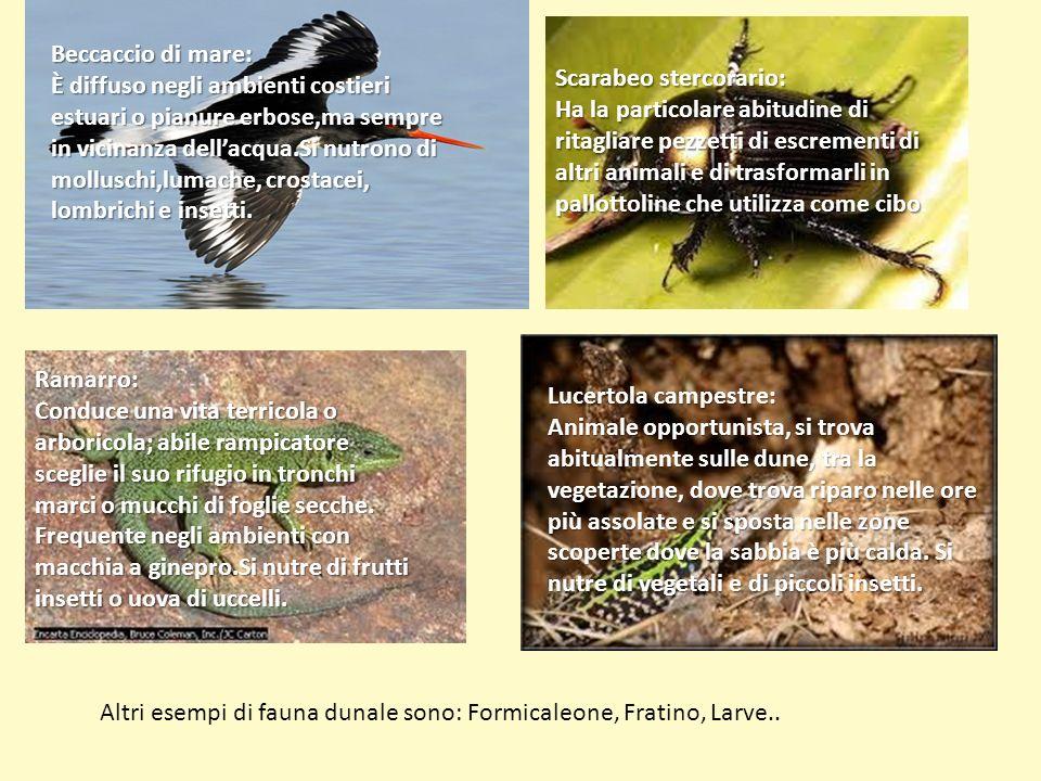 Beccaccio di mare: È diffuso negli ambienti costieri estuari o pianure erbose,ma sempre in vicinanza dellacqua.Si nutrono di molluschi,lumache, crosta