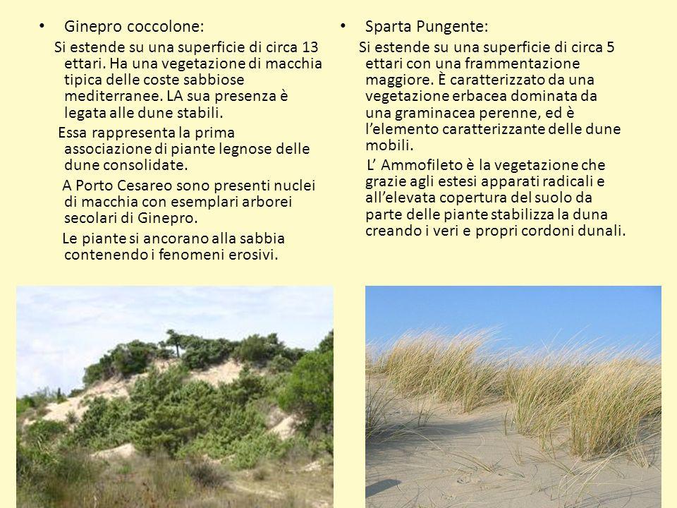 Ginepro coccolone: Si estende su una superficie di circa 13 ettari. Ha una vegetazione di macchia tipica delle coste sabbiose mediterranee. LA sua pre