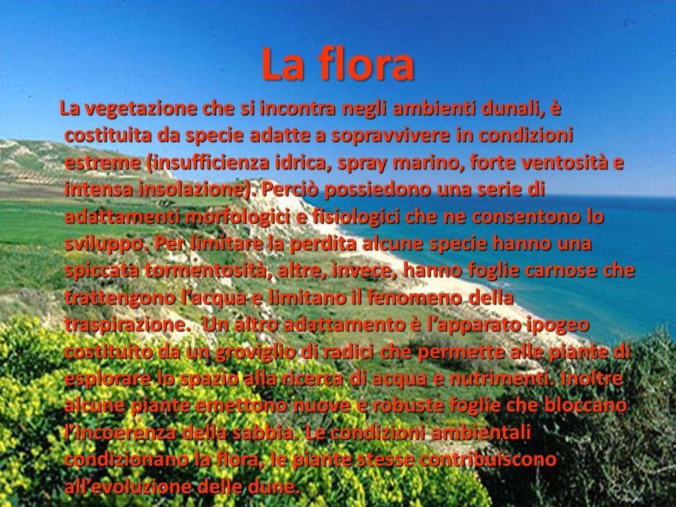 La flora La vegetazione che si incontra negli ambienti dunali, è costituita da specie adatte a sopravvivere in condizioni estreme (insufficienza idric