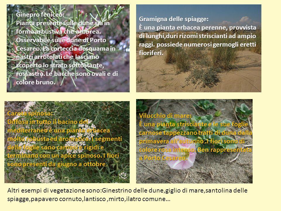 Ginepro feniceo: Pianta presente sulle dune sia in forma arbustiva che arborea. Osservabile sulle dune di Porto Cesareo. La corteccia desquama in nast
